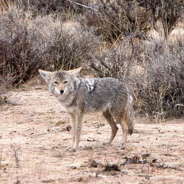 coyotesml.jpg