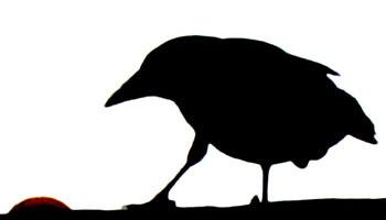 crow21.jpg