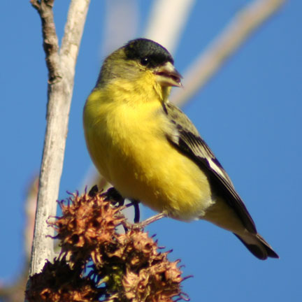 "Lesser Goldfinch in elings Park, Santa Barbara on a ""winter"" day."