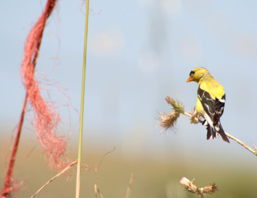 Goldfinch in Petaluma