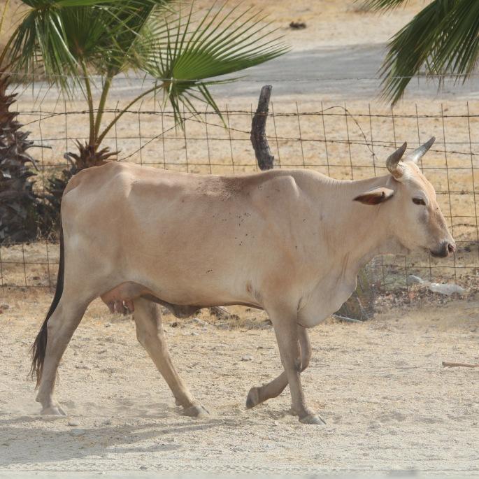 cow0526