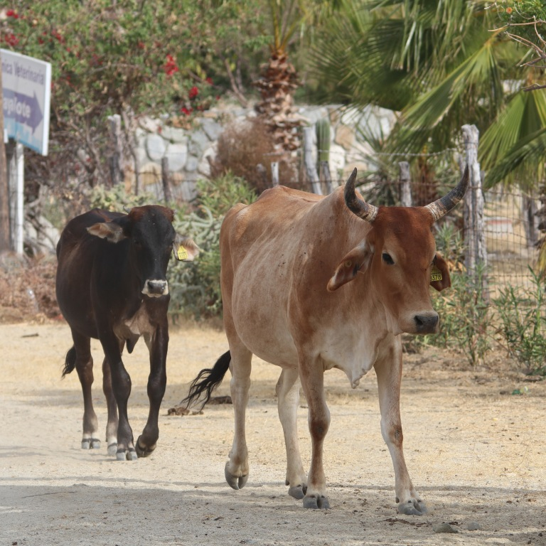 cows0529