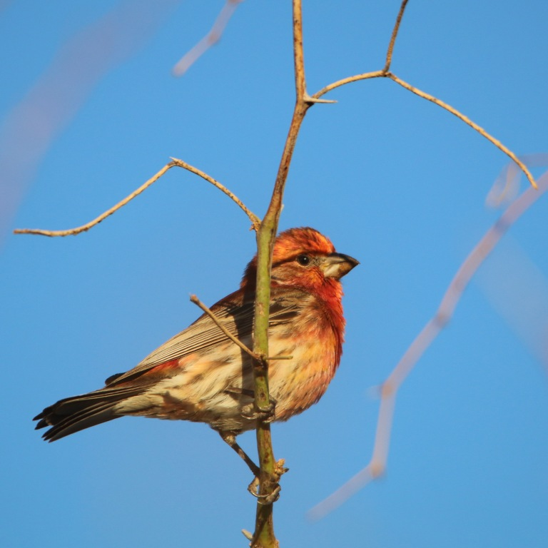 housefinch0407