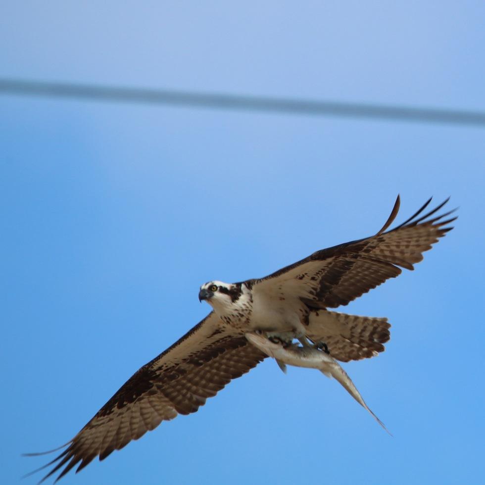 Osprey Punta Pescadero, Baja MX