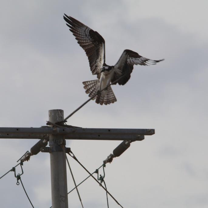 osprey0511