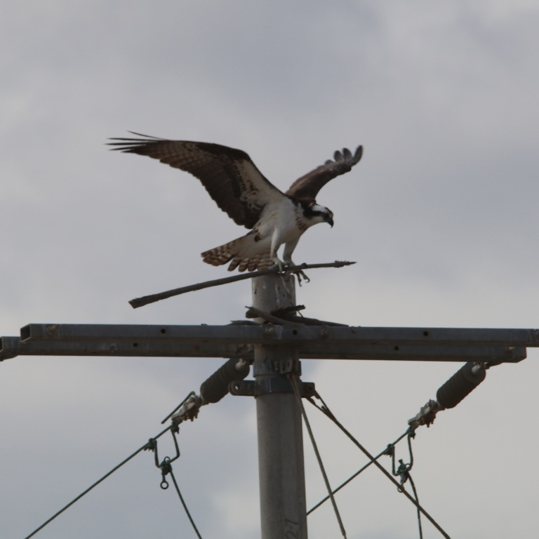 osprey0512