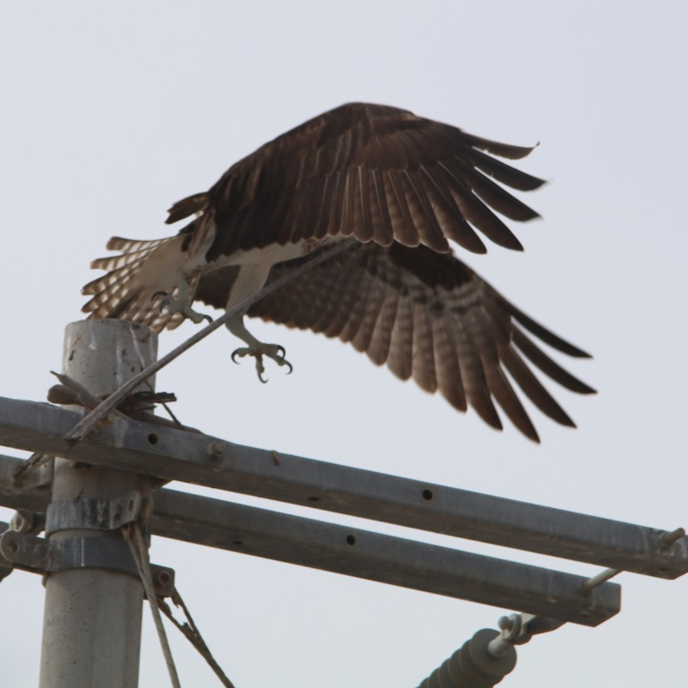 osprey0515