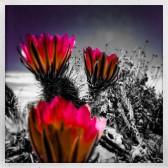 Beavertail Cacti Blooms
