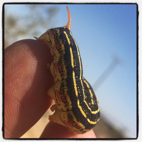 Sphynx Moth Caterpillar