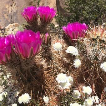 Chicory and Beavertail