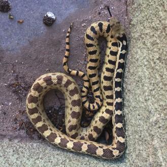 Gopher Snake as Heart