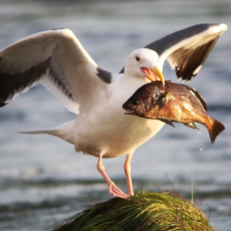 Seagull & Fish