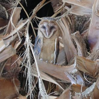 Barn Owl at the Oasis of Mara
